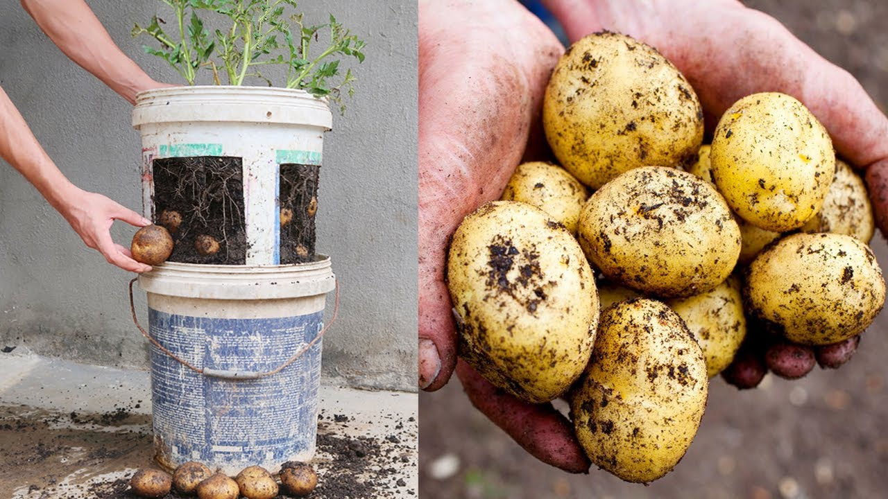 How to grow potatoes in old plastic paint buckets for beginners