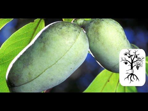 indianerbanane pawpaw frucht schnitt baum von asimina triloba youtube. Black Bedroom Furniture Sets. Home Design Ideas
