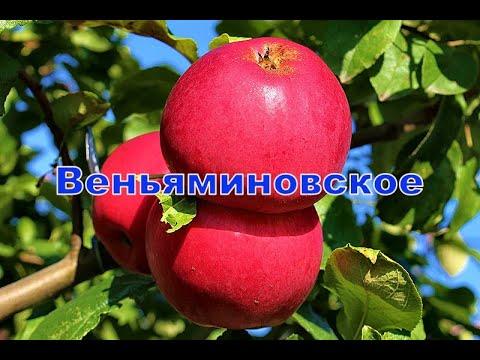 Сорт яблони Веьяминовское