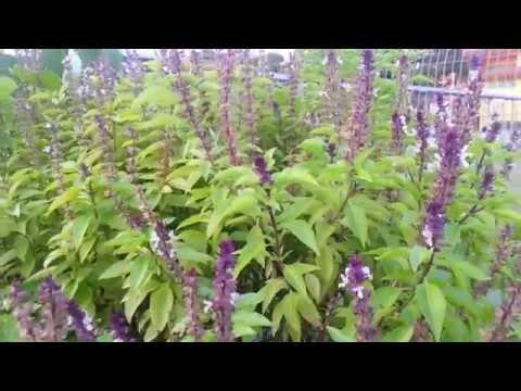 Bees feasting on Thai basil flowers