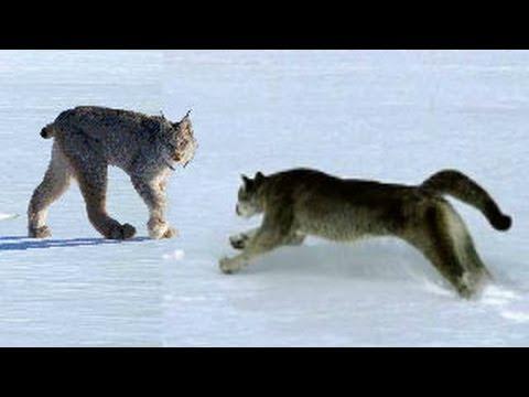 puma vs lion