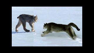 PUMA vs LYNX Real Fight ►► Jaguar Crocodile Cougar Bear Fox Badger Snake Chameleon Mountain Lion