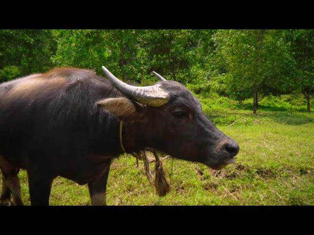Water Buffalo graze the stunning award-winning Laguna Lang Co Golf Club in Vietnam