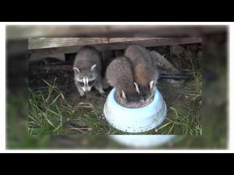 крошка енот погружая голову в миску во время пить молоко