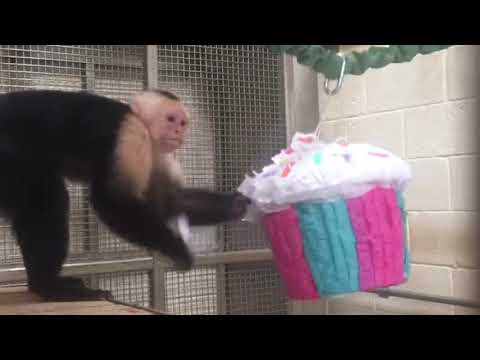 Capuchin Cupcake Enrichment