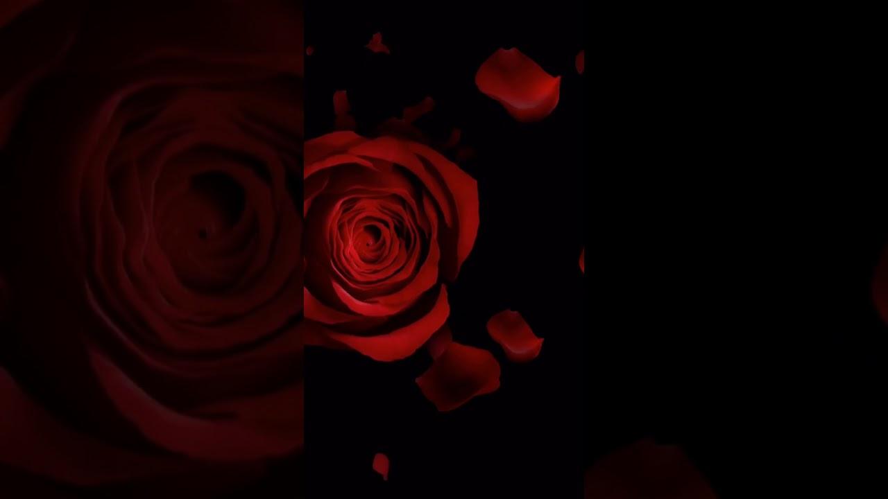 Samsung Theme Video Wallpaper Beautiful Roses Youtube