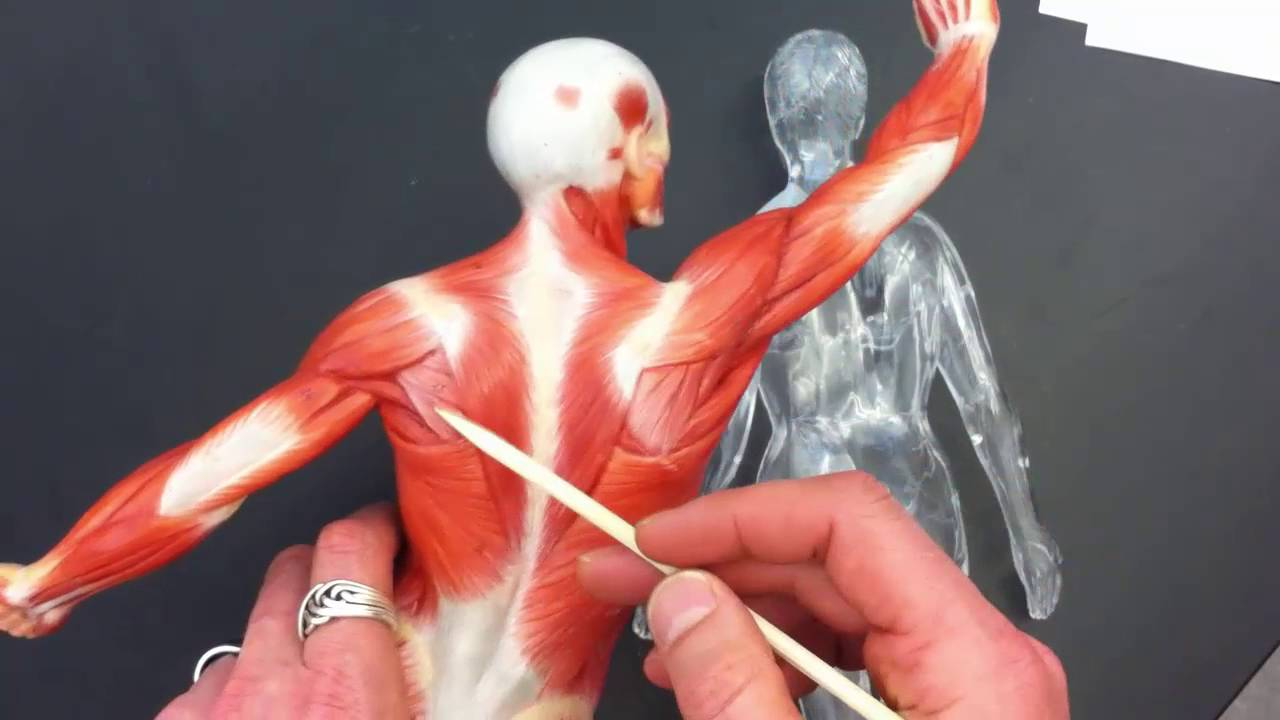 Anatomy --surface regions of the human body - YouTube