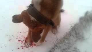 Рана у пса всё в крови