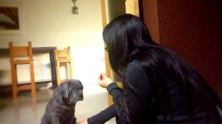 Two Month Old Neapolitan Mastiff Gives High Fives