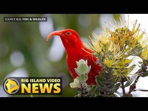 Will Ohia Decline Impact Hawaii