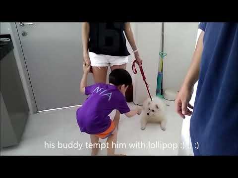 Dogs Training Singapore MoMo Japanese Spitz