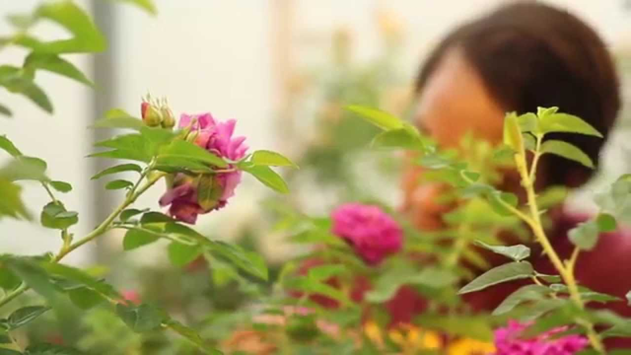 How to take care of roses - How To Take Care Of Roses 23