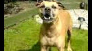 Staffordshire Bull Terrier Cross Ridgeback