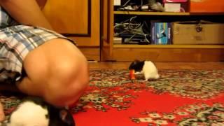 Домашние декоративные крысы вытворяют