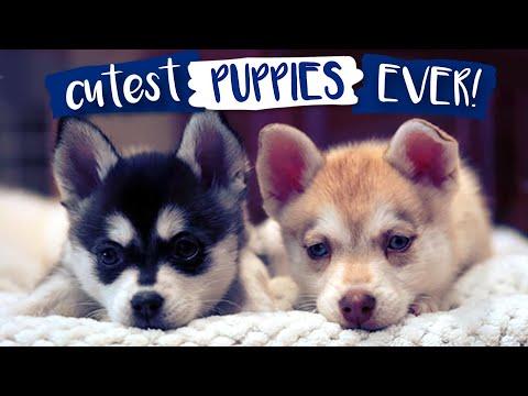 Most adorable Alaskan Klee Kai puppies EVER!!
