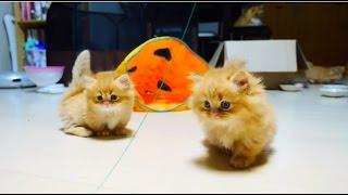 【マンチカンズ】マンチカン子猫の追いかけっこ~kittens playing tag~