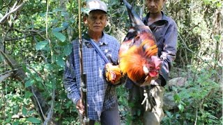 Amazing Catch chicken in wild - How To  chickens trap in Cambodia - (Part 124)