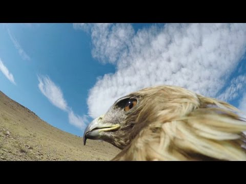Thumbnail: GoPro: Hunting a Fox From an Eagle's POV