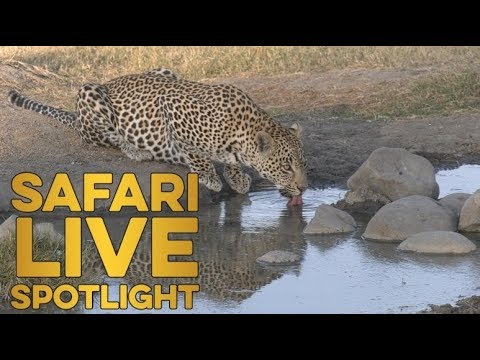 The unusual society of the royal leopards of Djuma