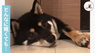 眠くてウトウト顔の柴犬さん   でも飼い主さんの手が近づいてくると…絶...