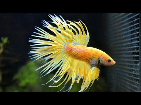 warna ikan cupang menjadi indah.. caranya ( betta fish colour more shiny how to do..?? )