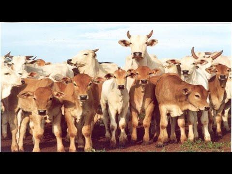 Cruzamento Industrial Limousin X Nelore - Limousin
