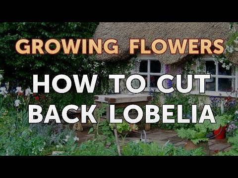 How To Cut Back Lobelia Youtube