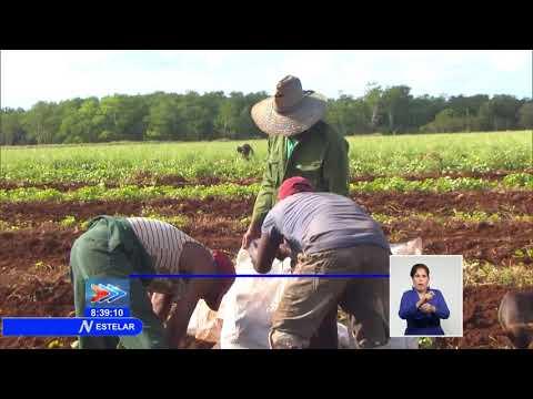 Inicia campaña de frío en Cuba para siembra de papa y otros cultivos