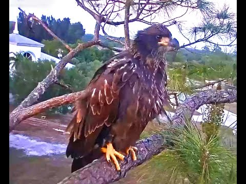SWFL eagles Tuff Love Good to see E9 he came to nest tree food begging Harriet & M15