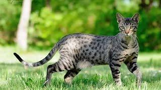 топ 10 самых крупных пород кошек