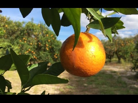 Visit a Florida Citrus Grove: Mixon Fruit Farms