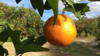 Visit a Florida Citrus Grove: Mixon Fruit Farms
