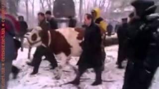 Корова идет в гости к депутатам