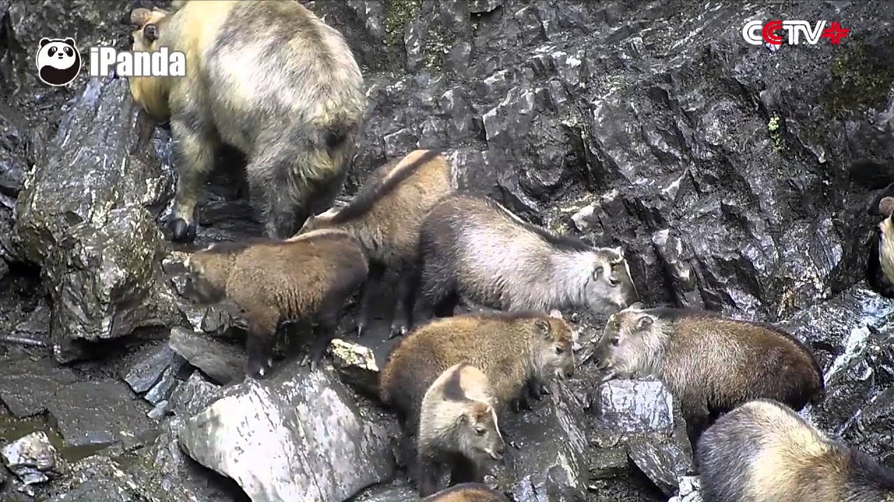 Tropical Island Beach Ambience Sound: Cameras Capture Takins At China's Sichuan Nature Reserve