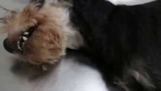 Review Of A Collapsing 11-year-old Miniature Schnauzer