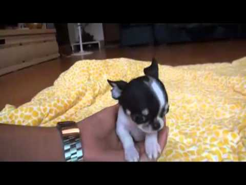 teacup tri coat chihuahua puppy bowpup