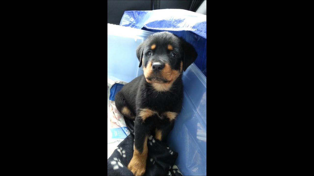 Rottweiler pup 8 weeks old - YouTube