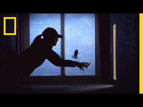 Can We Stop Millions Of Birds From Crashing Into Windows? | National Geographic