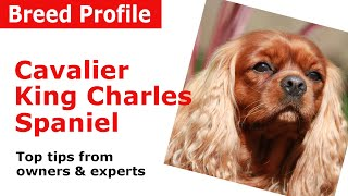 Cavalier King Charles Spaniel Dog Breed Advice
