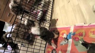 Shih Tzu Puppies From Kennel Lo-fan's 1