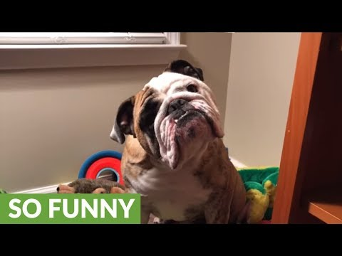 Owner sings holiday goodnight to English Bulldog