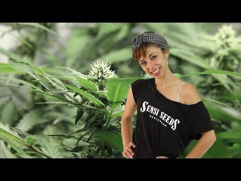 Marihuana Television News #38 Nada Prohibido, Primera COPA de la CatFAC y NowaReggae 2015
