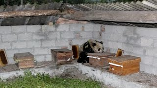 Giant Panda Spotted Hanging around on Bee Farm in SW China City