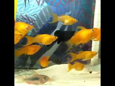 Sarı Balıklar / Yellow Fishes