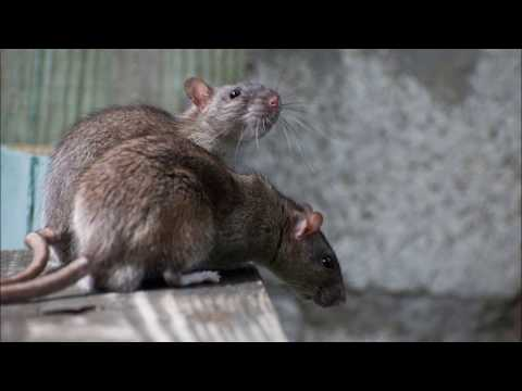 How To Get Rats Mice Out Of Your Home Without Killing Them