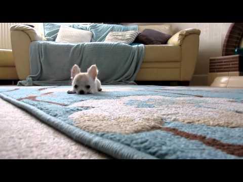 Buddy the Chihuahua pup