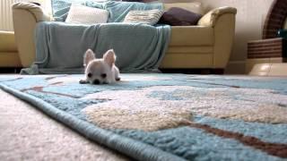 まるでおもちゃ。飛び跳ねるチワワの子犬が可愛い!