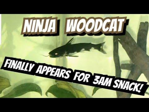 3 A.M. Killer Whale Catfish Feeding & Care. Tatia Musaica Ninja Woodcat Behavior + Surprise Ending!