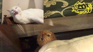 兄猫チロが居るところが好きなひろし。 今回も狙ってますが、上ではチロ...