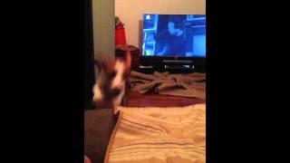 Beagle Zoomies